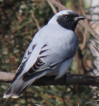 Black-faced Cuckoo-shrike  12-09-2014