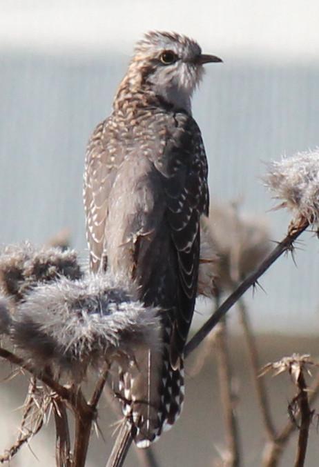 Pallid Cuckoo (immature) 12-09-2014