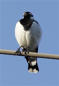 Magpie-lark-(Male)-01-05-2015