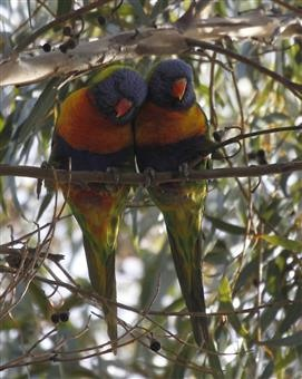 Rainbow-Lorikeet-16-07-2015