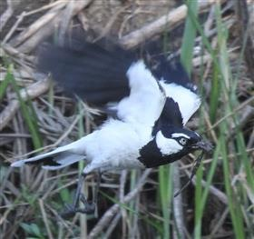 Magpie-lark-14-10-2015-(Nest-building)