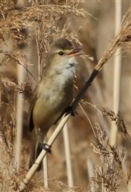 Australian-Reed-Warbler-30-10-2015-Len