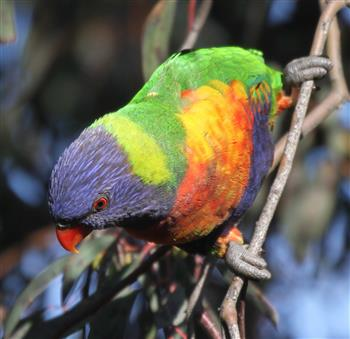 Rainbow-Lorikeet-29-06-2016-(2)