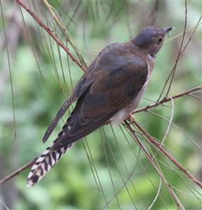 Fan-tailed-Cuckoo-(Imm)-14-03-2016