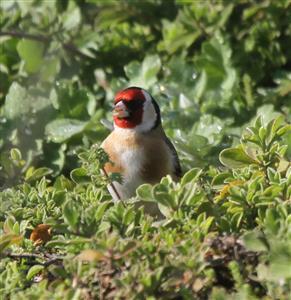 European-Goldfinch-24-08-2016