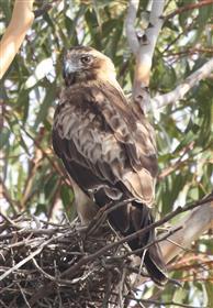 Little-Eagle-25-02-2016