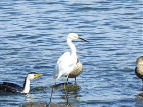 Little-Egret-W'town Wetlands (AndrewT)-20-05-2017