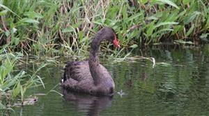 Black-Swan-(Juv)-21-02-2018-(3)