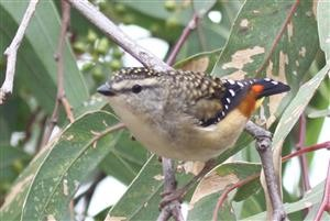 Spotted Pardalote 09-04-2018