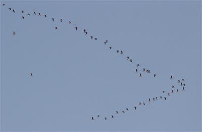Silver-Gulls-30-01-2019-(3)