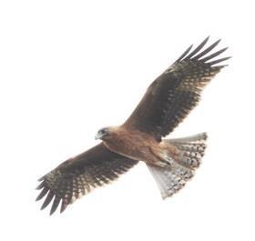 Little-Eagle-(Dark-Morph)-(Image_9730)-12-03-2019-(002)