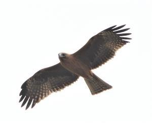 Little-Eagle-(Dark-Morph)-(Image_9732)-12-03-2019-(2)