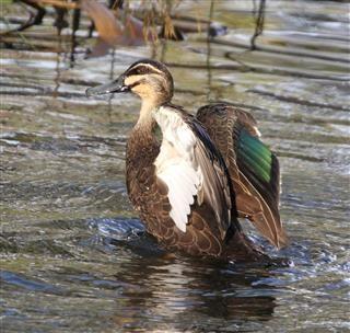 Pacific-Black-Duck-03-04-2019