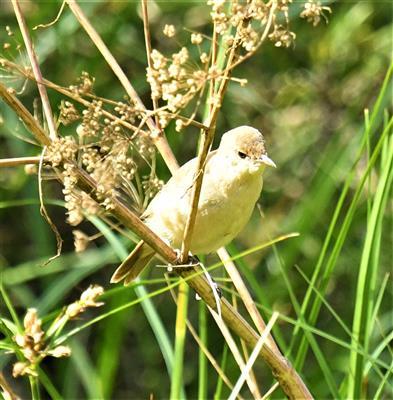 Australian-Reed-Warbler-(Juv)-24-01-2020-LT1_3577 (2)