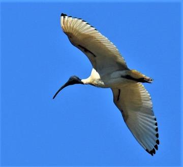 Australian-White-Ibis-24-10-2019-LT1_2637