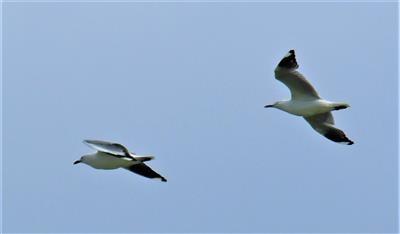 Silver-Gull-19-10-19-LT1_2453
