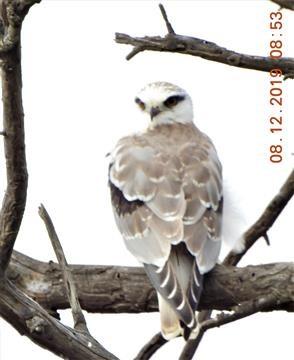Black-shouldered-Kite-08-12-2019-Veronica-DSCN1109