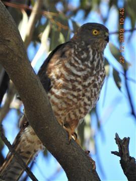 Collard-Sparrowhawk-12-12-2019-Veronica-DSCN1492