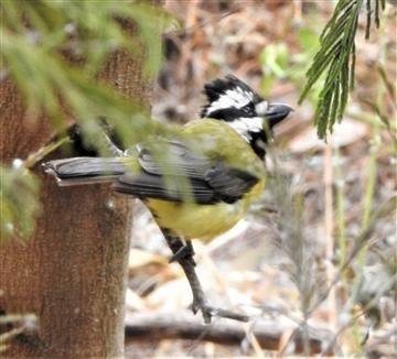 Crested-Shrike-tit-10-12-2020-Veronica-DSCN1316
