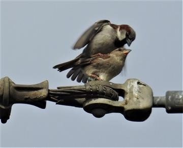 House-Sparrow-(M & F)-24-11-2019-Veronica-DSCN0900