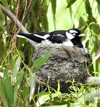 Magpie-lark-(Nest)-Veronica-DSCN0778