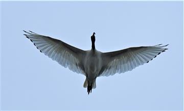 Australian-White-Ibis-25-03-2020-LT1_4097