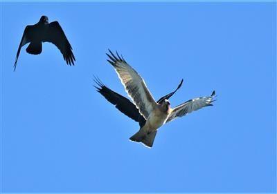 Little-Eagle-(Light-Morph)-Little-Raven-09-04-2020-LT1_4347