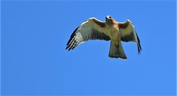 Little-Eagle-(Light-Morph)-09-04-2020-LT1_4339