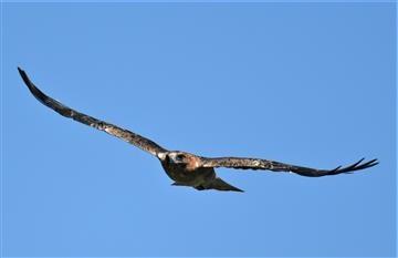 Little Eagle-(Dark-Morph)-17-02-2020-LT1_3792