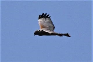 Spotted-Harrier-09-04-2018-(7)