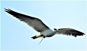 Black-shouldered-Kite-Mouse-08-08-2019-LT!_0759-(4)