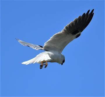 Black-shouldered-Kite-11-08-2019-LT1_0806