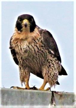 Peregrine-Falcon-24-04-2019 -(7)
