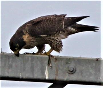 Peregrine-Falcon-24-04-2019 (Cleaning Bill)-(5)