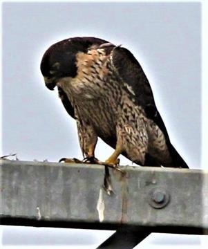 Peregrine-Falcon-24-04-2019 (Food Scraps)-(5)