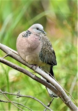 Spotted-Dove-28-02-2020-LT1_3891