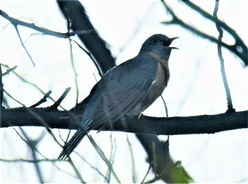 Fan-tailed-Cuckoo-26-04-2020-LT1_4573-(4)