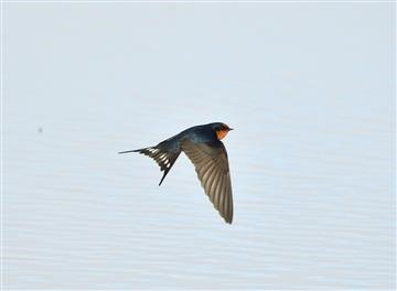 Welcome-Swallow-27-05-2020-Jawbone-Wader Beach-Andrew T