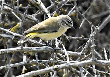 Yellow-rumped-Thornbill-14-10-2019-LT1_2400