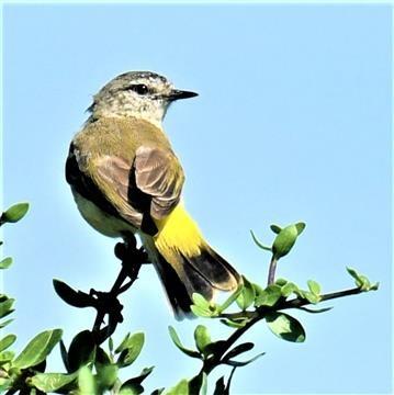Yellow-rumped-Thornbill-17-02-2020-LT1_3790 (3)