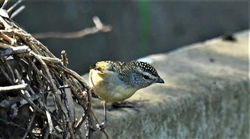 Spotted-Pardalote-19-04-2020-LT1_4486 (2)