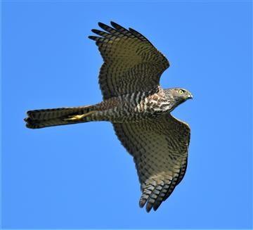 Collard-Sparrowhawk-08-05-2020-LT1_4702 (2)