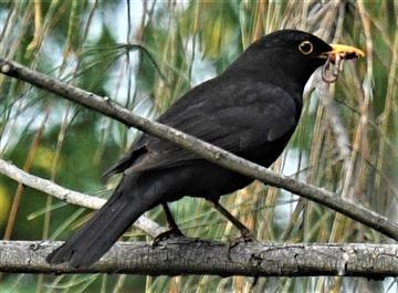 Common-Blackbird-07-10-2019-LT1_2285 (3)