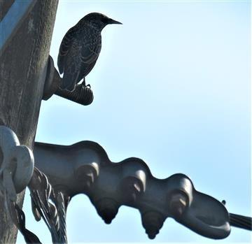 Common-Starling-06-04-2020-LT1_4298 (2)