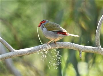 Red-browed-Finch-22-10-2019-LT1_2553 (2)