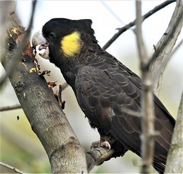 Yellow-tailed-Black-Cockatoo-(Grubb Hunting)-25-06-2020-LT1_5039  (2)