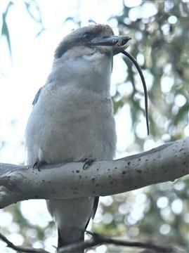 Laughing-Kookaburra-Swallowed-Rat-14-06-2020-Darebin-Creek-Trail-LT1_4936  (2)