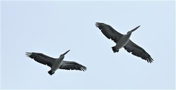 Australian-Pelican-13-04-2020-LT1_4375