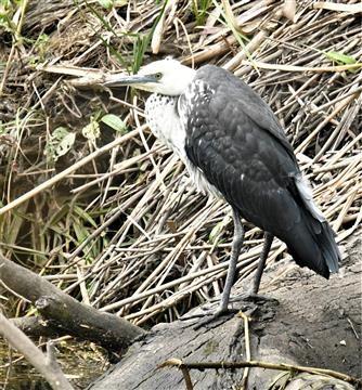 White-necked-Heron-Juv)-08-12-2020--LT1_6849