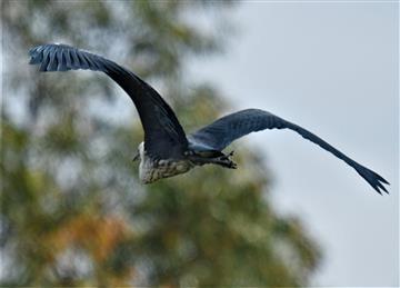 White-necked-Heron-Juv)-08-12-2020--LT1_6868